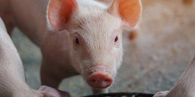 swine image techmix