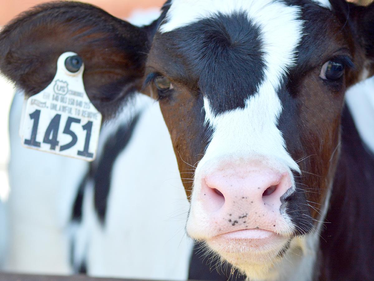 TechMix Dairy Calf image